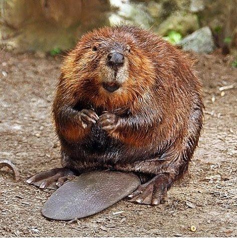 Beavers Disrupt Canadian Town's Internet Service