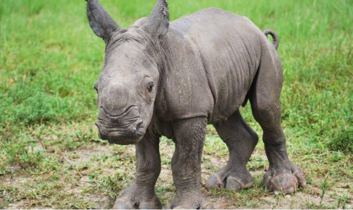 Aziza, rare baby rhino